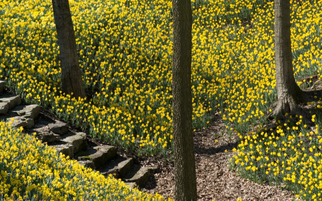 "A Critical Analysis of William Wordsworth's ""Daffodils"""